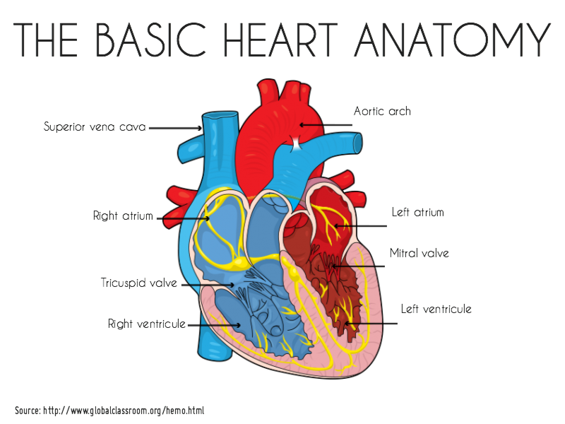 Basic heart anatomy | Mind the Graph