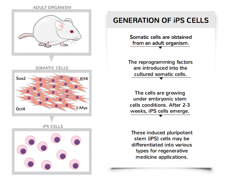 Generation of iPS cells