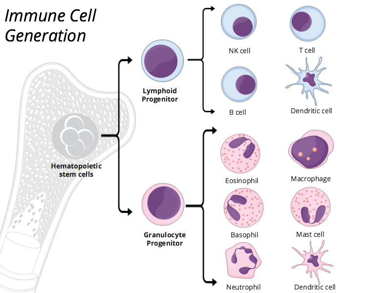 Immune cell generation