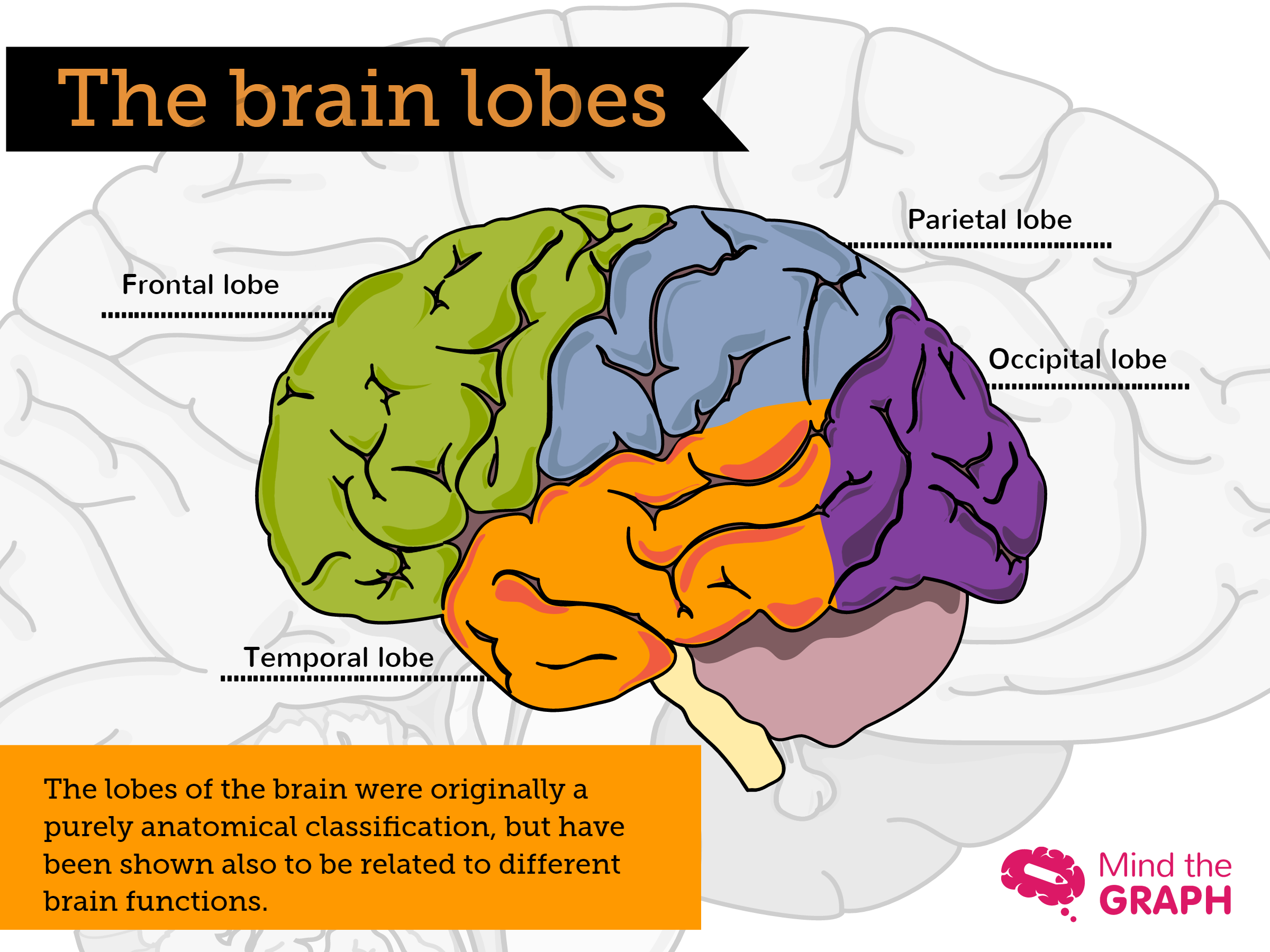 The brain lobes