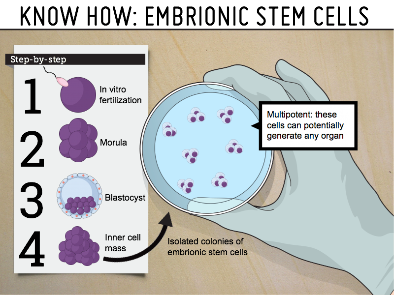 Know how: embrionic stem cells