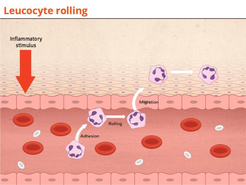 Leucocyte rollin