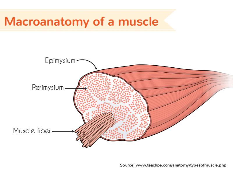Macroanatomy of a muscle