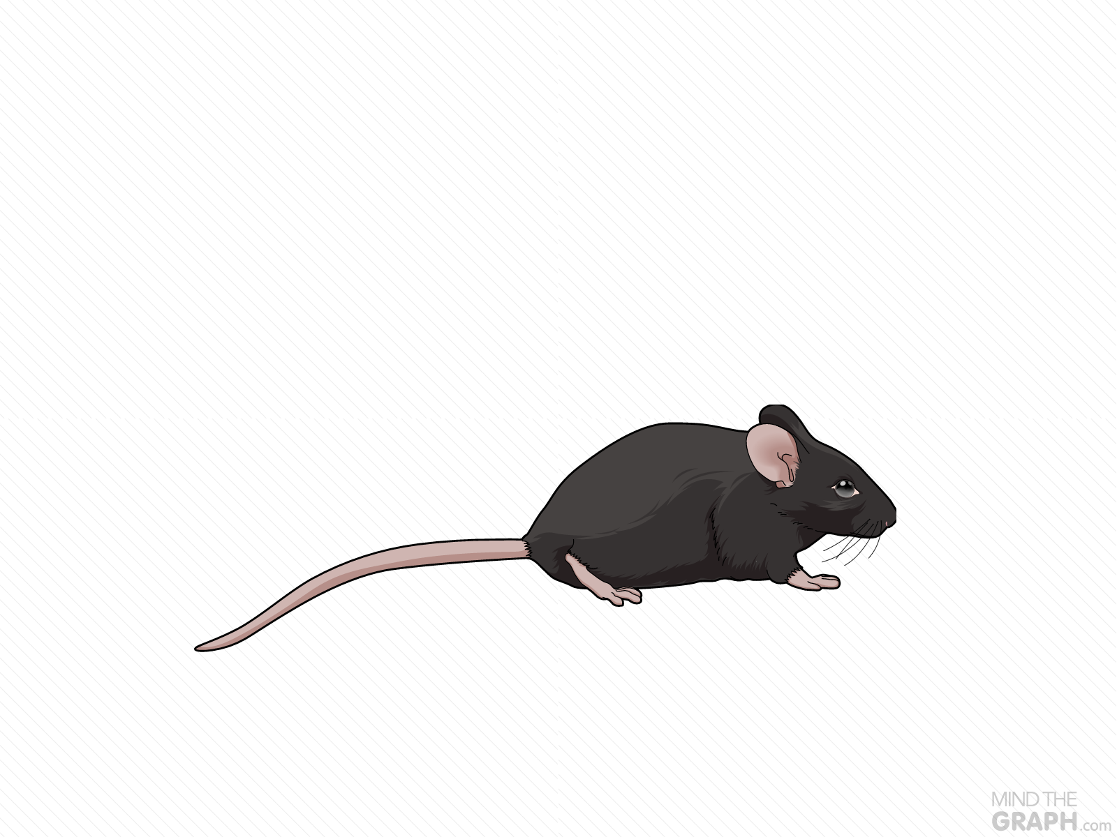 mouse c57