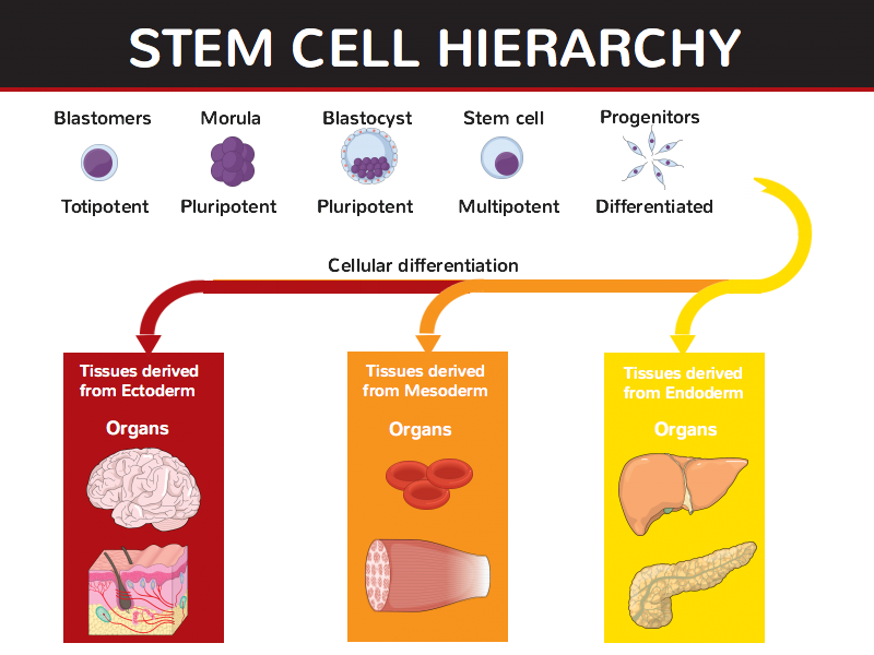 Stem Cell Hierarchy