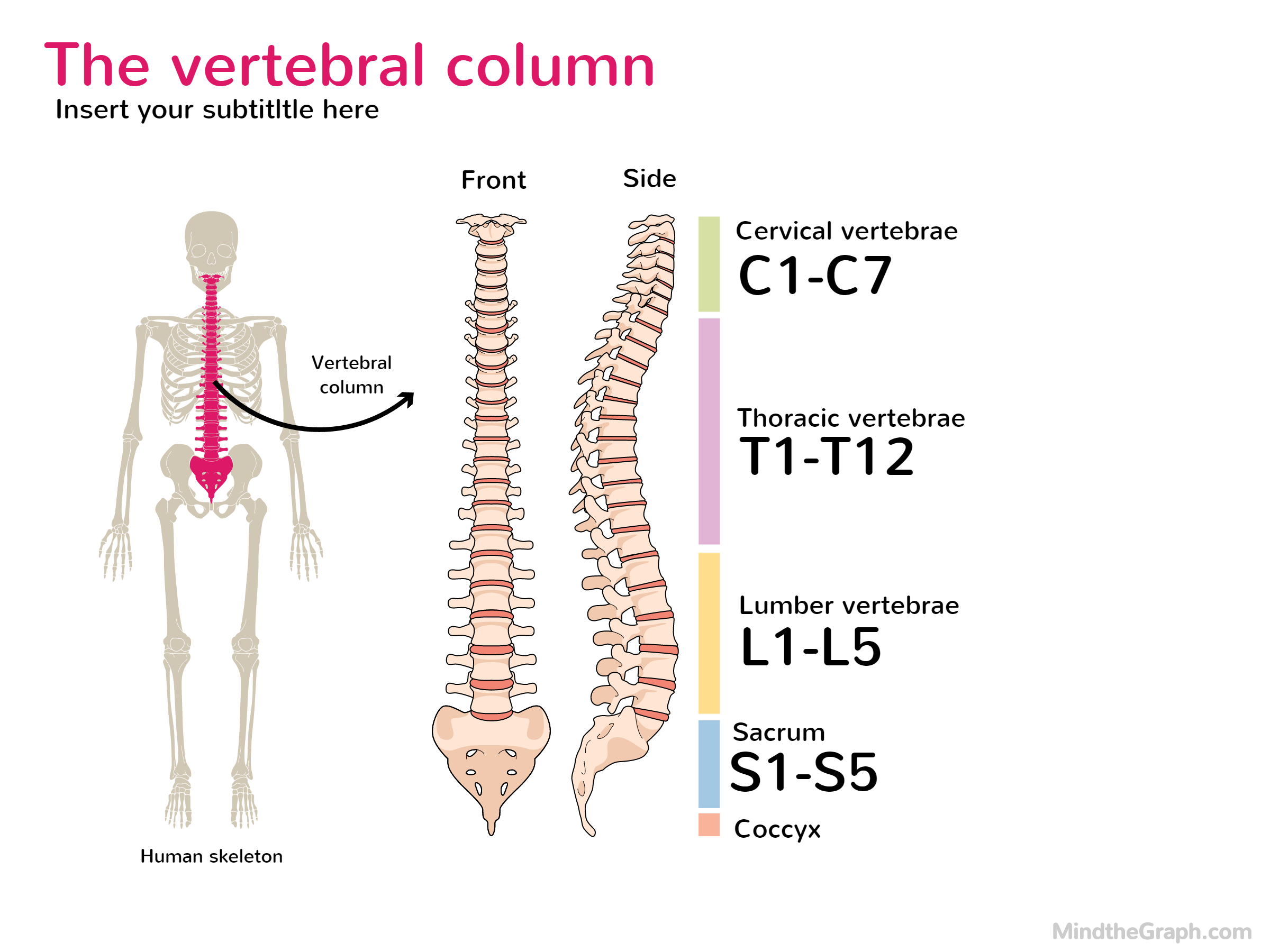 The human vertebral column | Mind the Graph