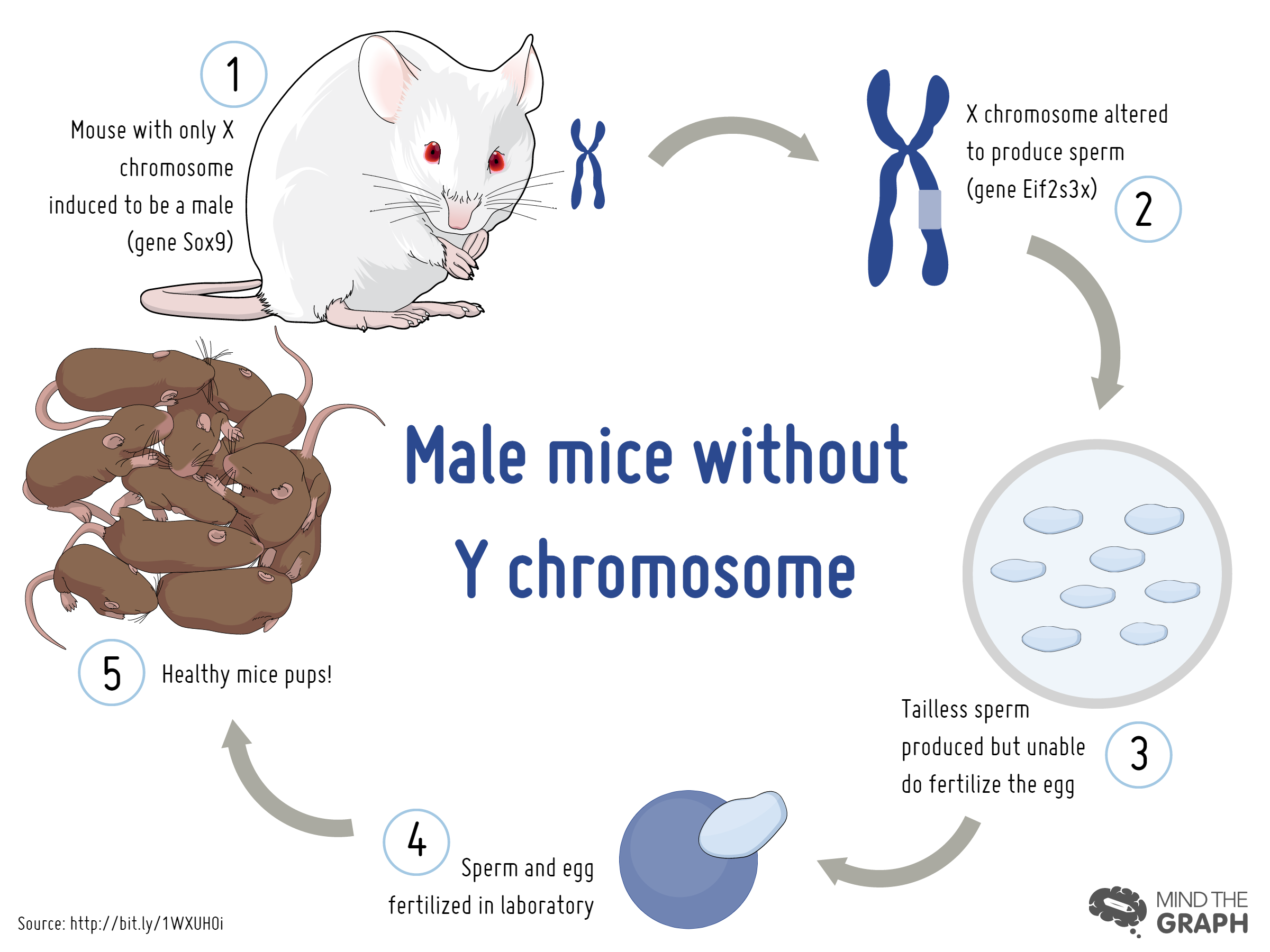 Male mice without Y chromosome