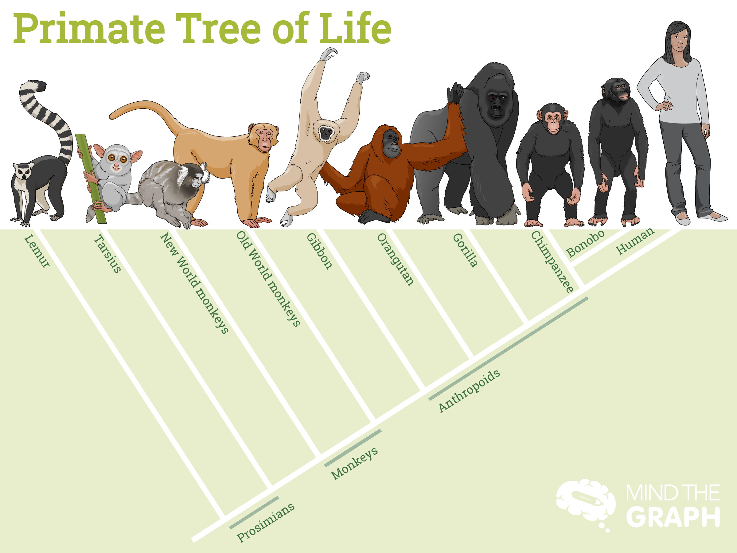 Primate tree of life